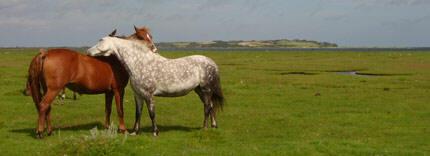 Fritgående heste på græs ved Eskebjerg Vesterlyng ved Kalundborg
