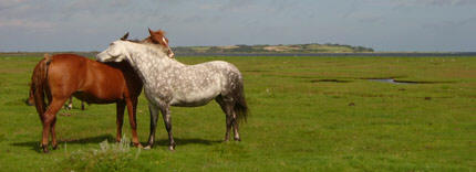 Fritg�ende heste p� gr�s ved Eskebjerg Vesterlyng ved Kalundborg